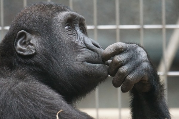 primate-ape-thinking-mimic-view