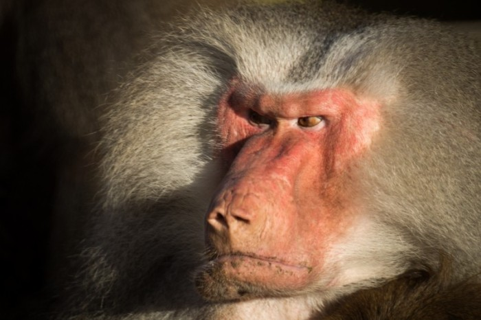 baboon-angry-zoo-wildlife-animals-primate-ape