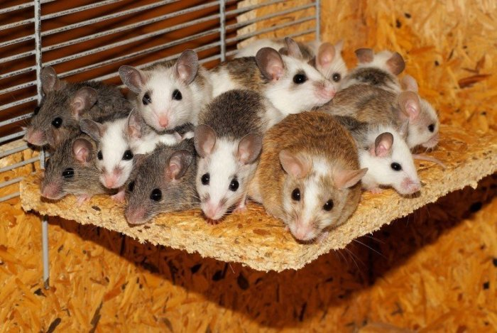 mice-mastomys-family-together-security-community