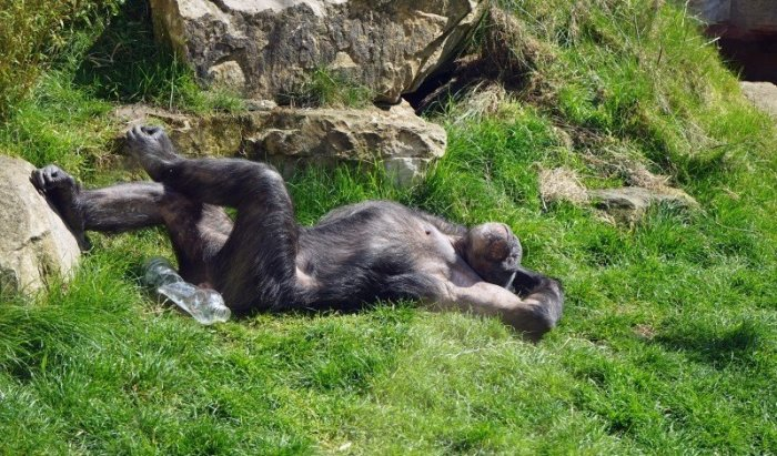 chimpanzee-monkey-ape-zoo-tired-relax-chill-out